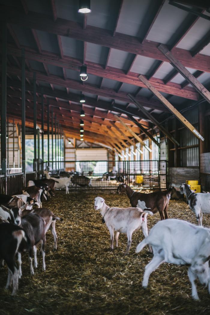 Ayers Goat Dairy by Eva Kosmas Flores