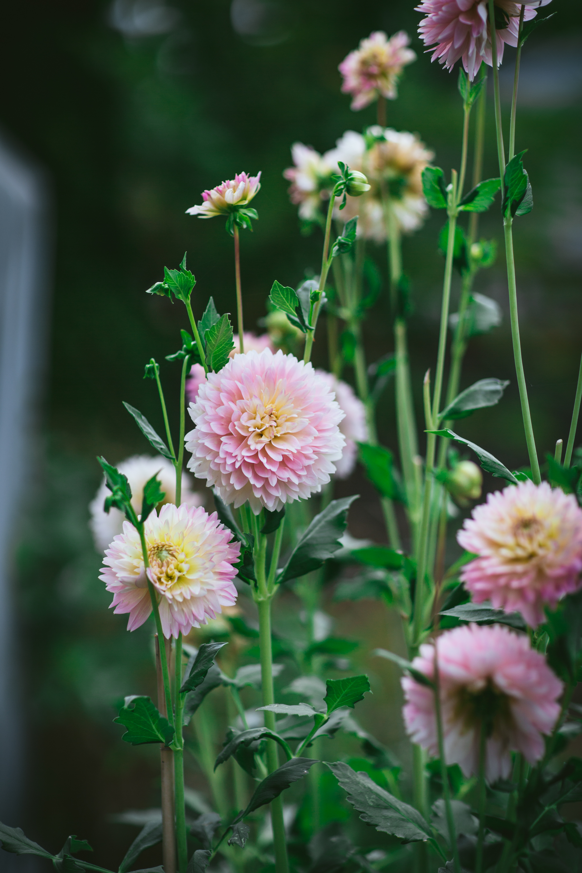 Dahlias by Eva Kosmas Flores of Adventures in Cooking