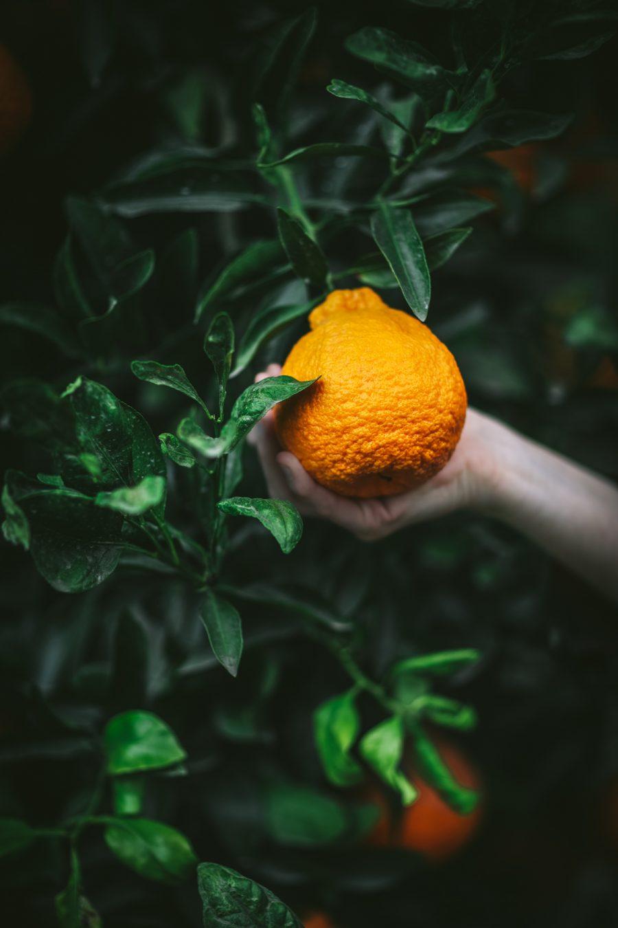 Sumo Citrus Orchard