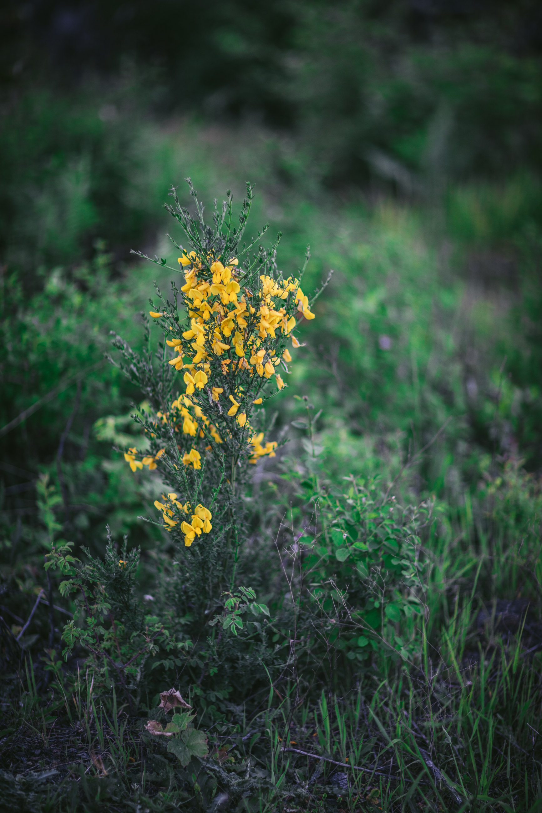 Scotch Broom in Washington