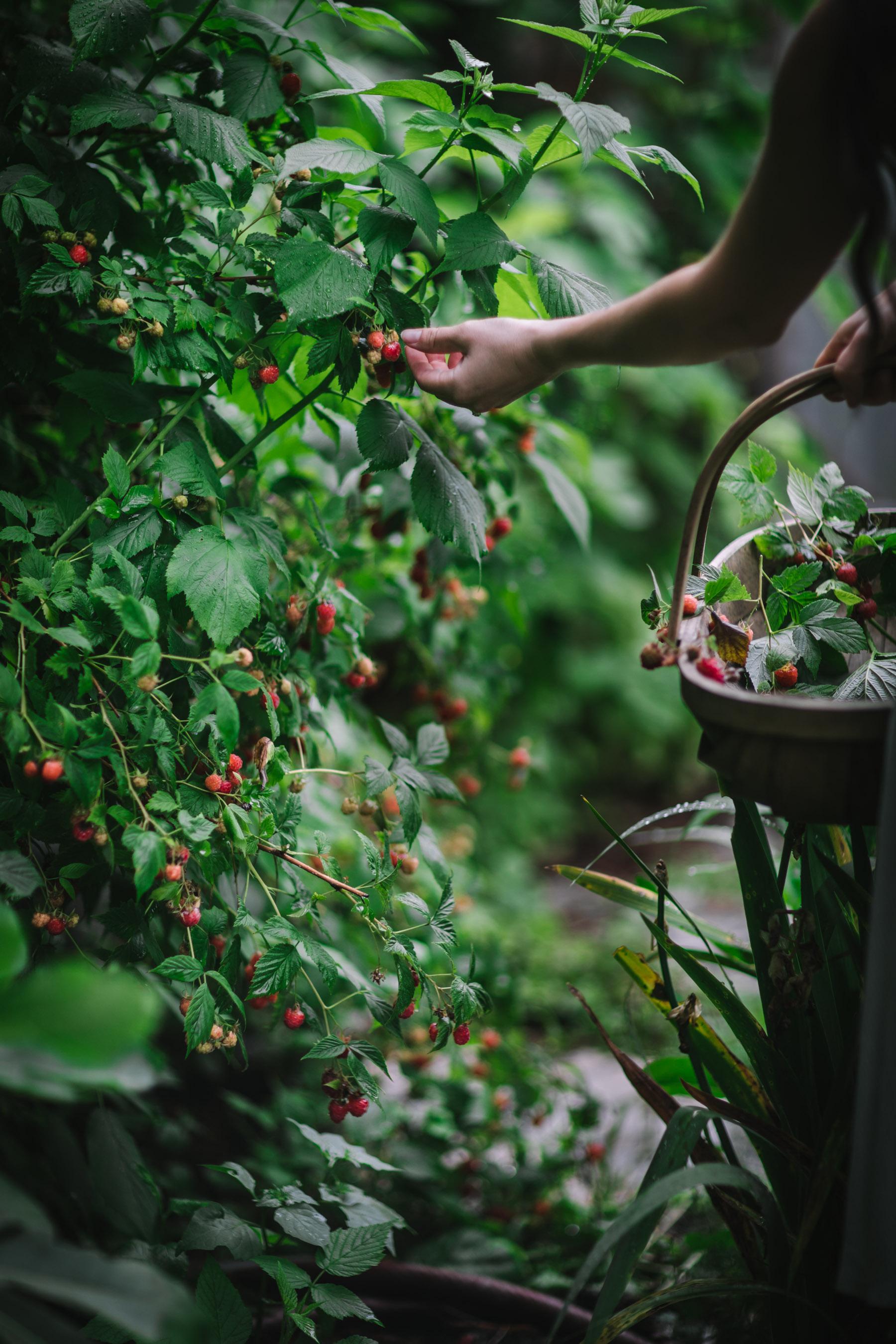 Berry Picking Eva Kosmas Flores