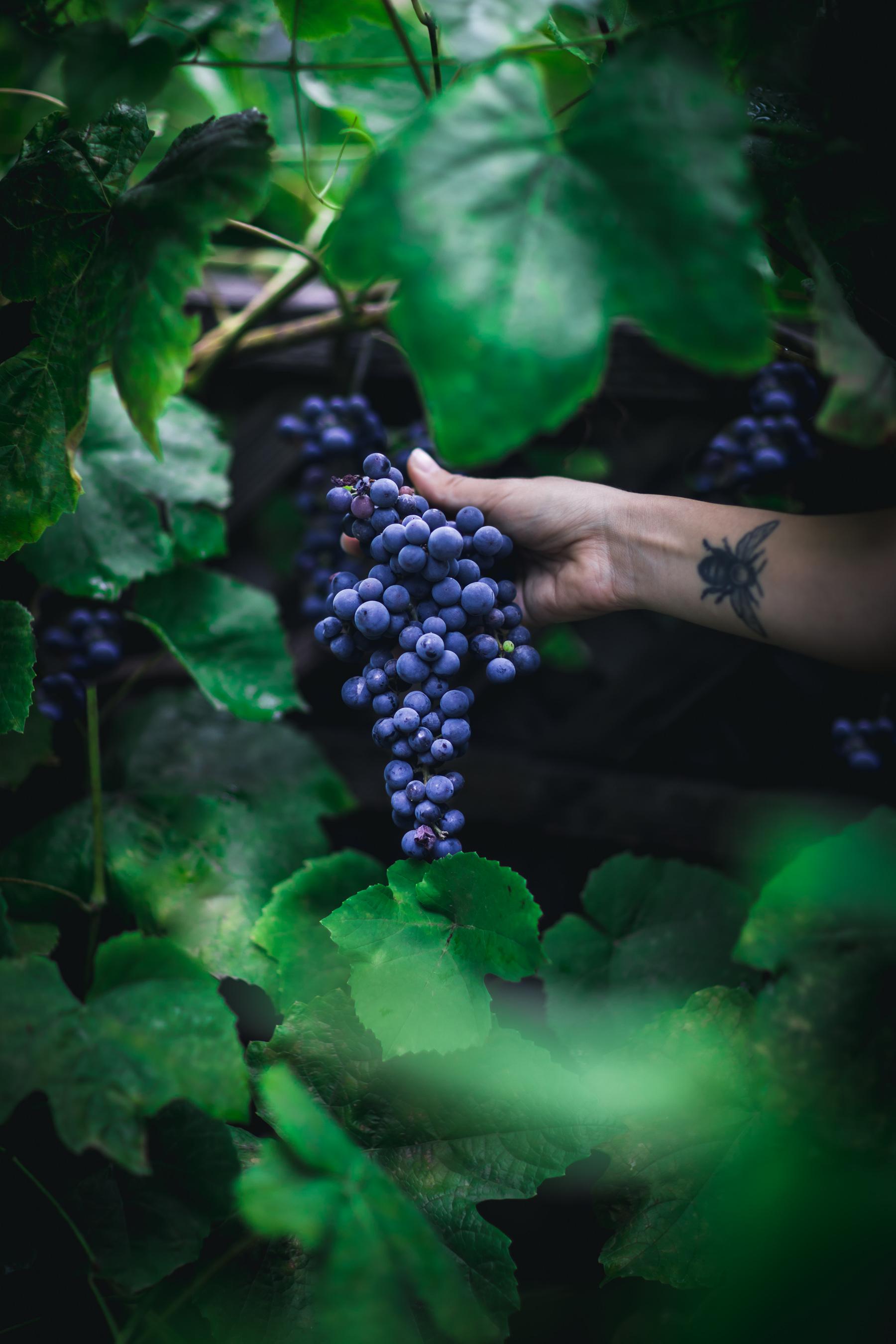 Harvesting Grapes by Eva Kosmas Flores