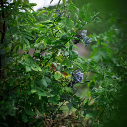 Eldeberries Homestead Update September